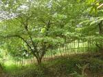 pohon-kersen